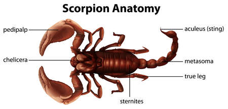 predatory insect: Illustration showing the anatomy of a scorpion