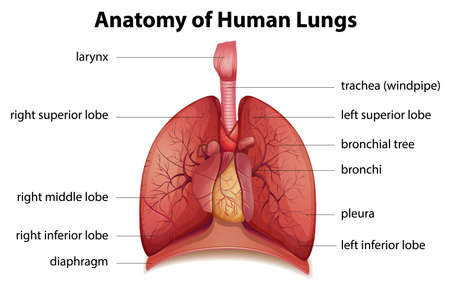 Illustration of the human respiratory system Vector Illustration