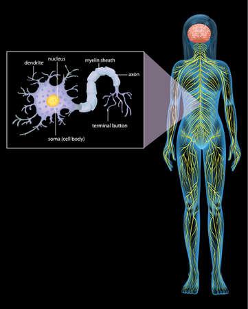 hillock: Ilustraci�n que muestra la neurona femenina sobre un fondo negro Vectores