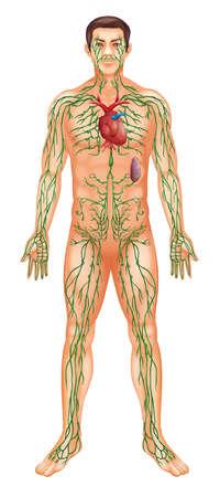 lombaire: Illustration du syst�me lymphatique