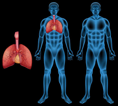 human body anatomy: Illustration of the human respiratory system