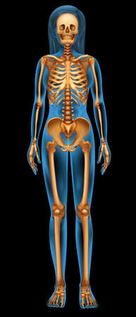scheletro umano: Illustrazione del sistema scheletrico umano