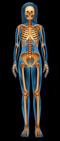 esqueleto humano: Ilustraci?n del sistema esquel?tico humano Vectores