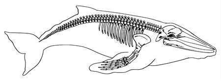 orificio nasal: Ilustración del esqueleto de una ballena