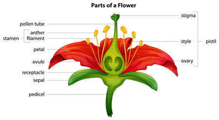 Illustration showing the parts of a flower Vector