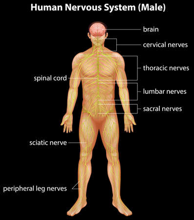 cns: Illustration of the human nervous system Illustration