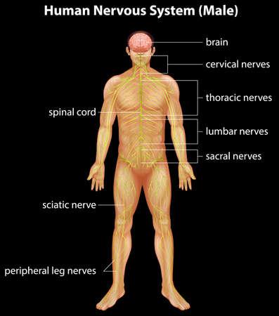 central nervous system: Illustration of the human nervous system Illustration