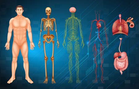blood circulation: Illustration of various human body systems and organs Illustration