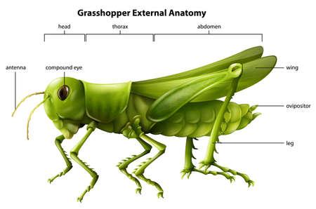 Illustratie die de externe anatomie van een sprinkhaan