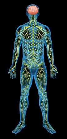 nerveux: Illustration du syst�me nerveux humain