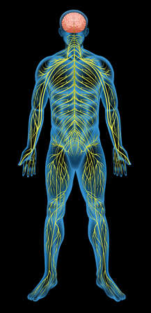 Illustration of the human nervous system