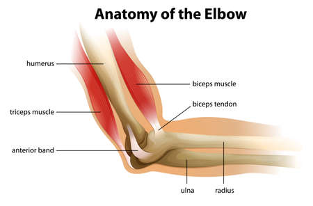 Illustration showing the anatomy of the human elbow