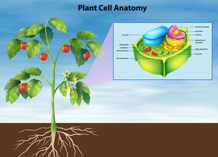 membrana cellulare: Illustrazione di anatomia della cellula vegetale Vettoriali