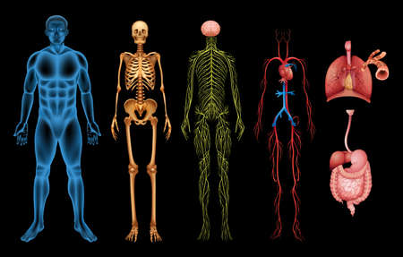 skeleton: Illustration of various human body systems and organs Illustration