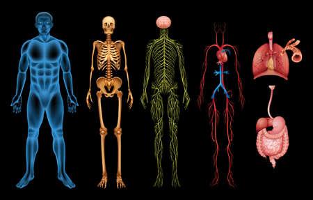 Illustrazione dei vari sistemi del corpo e organi umani Archivio Fotografico - 20060269