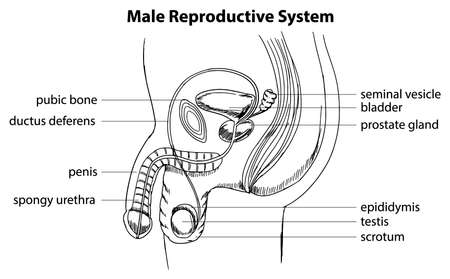Illustration showing the male reproductive system Stock Vector - 20060055