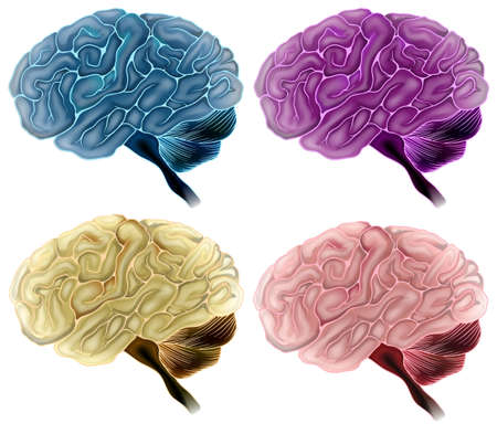 brain stem: Illustration showing human brains Illustration