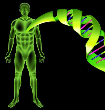 genes: Ilustraci�n que muestra el ADN humano masculino Vectores