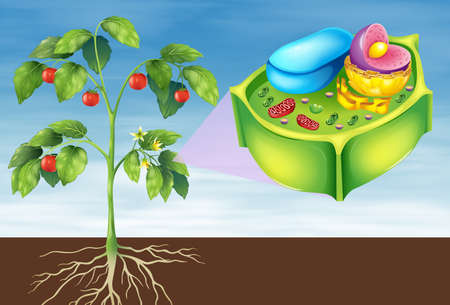 stoma: Illustrazione che mostra la cellula vegetale