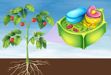 Ilustración que muestra la célula vegetal Ilustración de vector