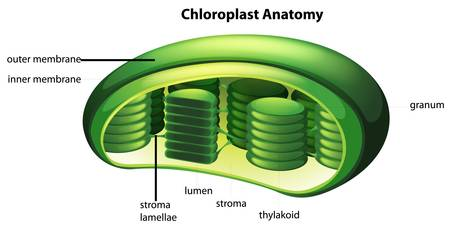 Illustration of the Chloroplast Vector