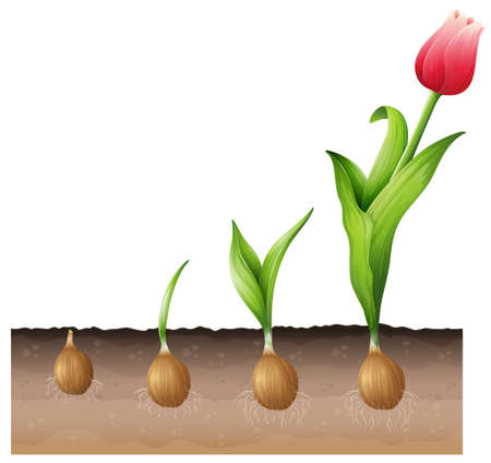 Illustration of the developing tulip Vector