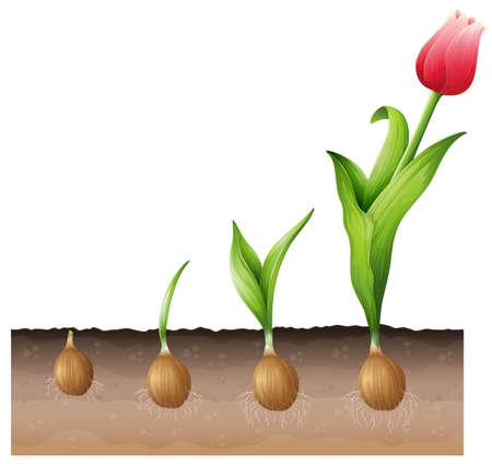 stoma: Illustrazione del tulipano in via di sviluppo