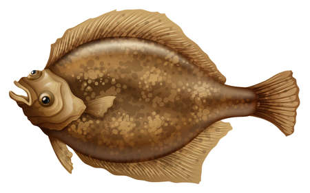 flounder: Illustration of the Psettodes Erumei Flounder