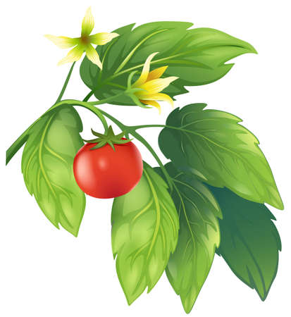 Illustration of the tomato plant Stock Vector - 20185362
