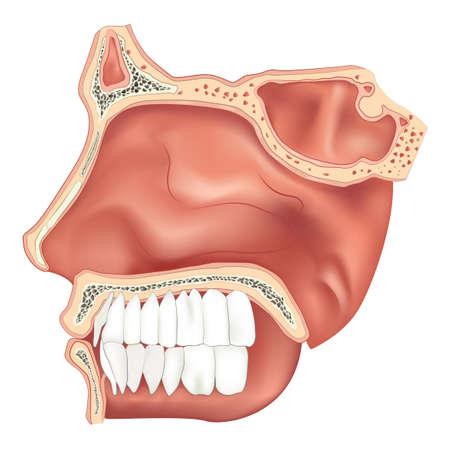 holten: Illustratie van de neusholte Stock Illustratie