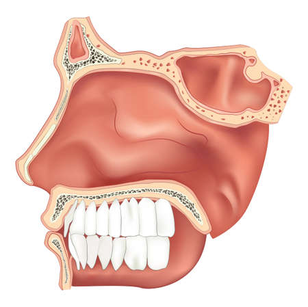 inferior: Illustration of the nasal cavity Illustration