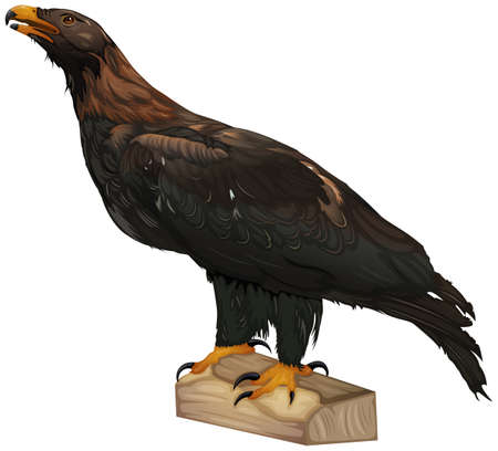 wedgetailed: Illustration showing the wedge-tailed eagle