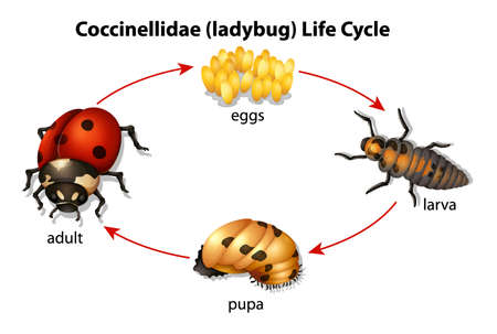coccinellidae: Illustration showing the life cycle of a Ladybug