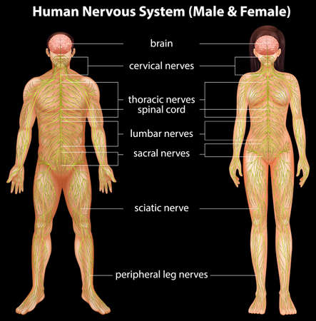 Illustration of the human nervous system Vector
