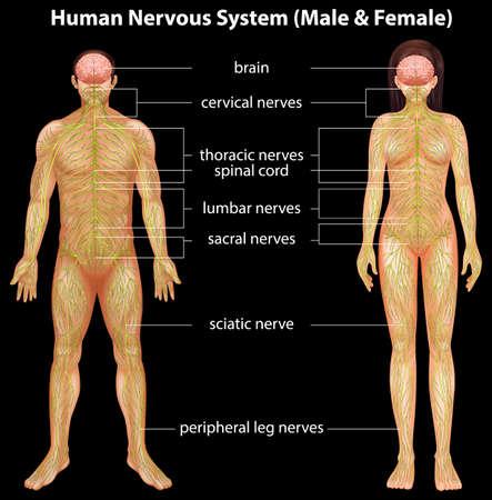 sistema nervioso central: Ilustraci?el sistema nervioso humano