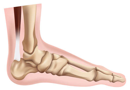 Illustration of the skeletal foot Vector