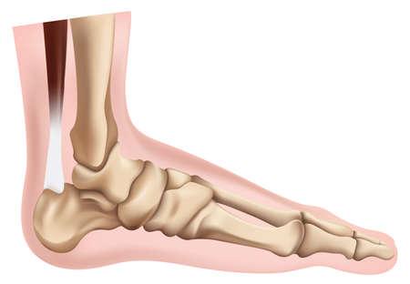 talus: Ilustraci�n de los pies del esqueleto Vectores