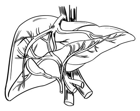 cystic duct: Illustration showing the outline of a human liver