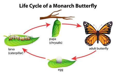 oruga: Ilustración que muestra el ciclo de vida de los Reyes Vectores