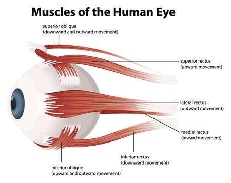 crystalline lens: Illustration of the muscles of the human eye