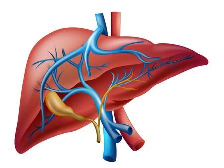higado humano: Ilustración del hígado humano interno