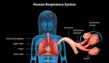 zuurstof: Illustratie van het menselijk ademhalingssysteem
