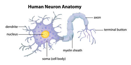 ribosomes: Illustration showing the Human Neuron Anatomy Illustration