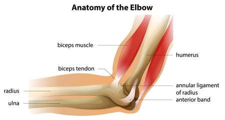 Illustrazione che mostra l'anatomia del gomito Vettoriali