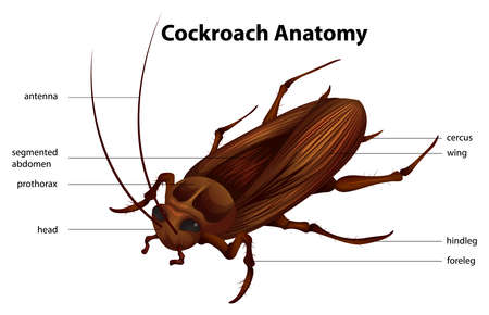 insecta: Illustration showing the anatomy of a cockroach