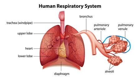 Ilustración que muestra el sistema respiratorio humano