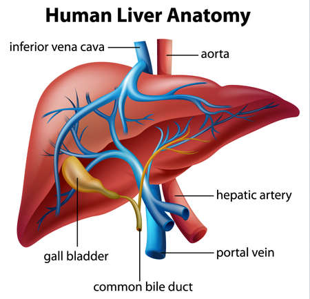 duodenum: Illustration of the human liver anatomy Illustration
