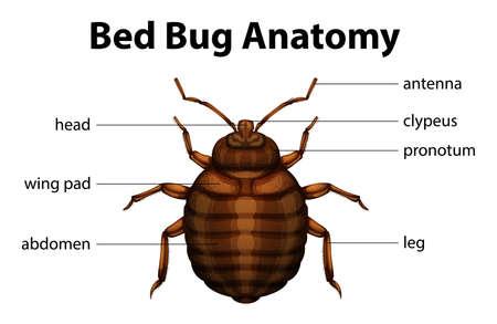 ベッドのバグの解剖学のイラスト  イラスト・ベクター素材