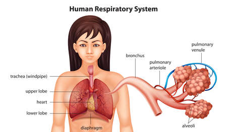 anatomy body: Illustration of the female human respiratory system