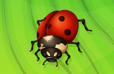 coccinellidae: Illustration of a ladybug life cycle - adult stage